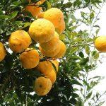 Yuzu Frucht